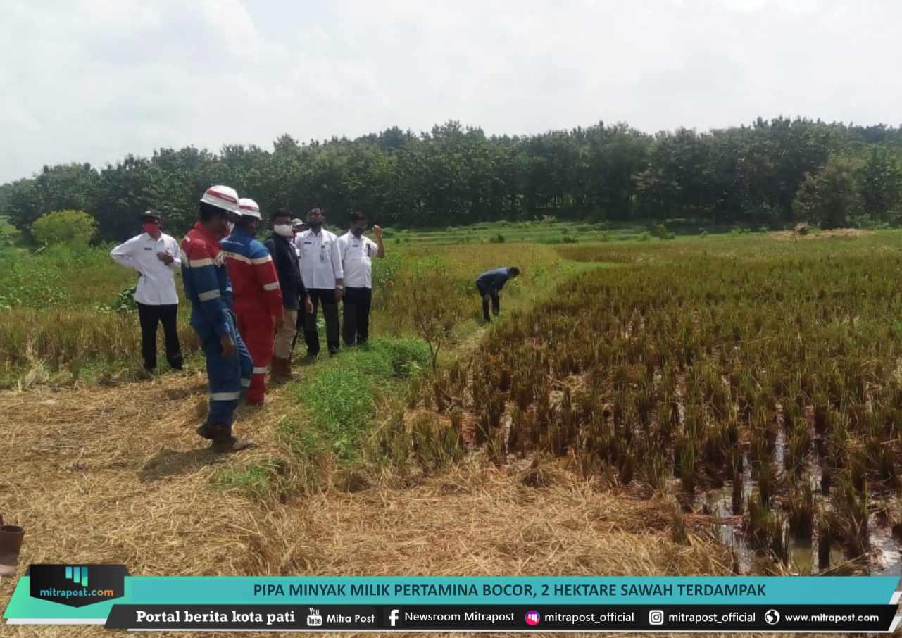Pipa Minyak Milik Pertamina Bocor 2 Hektare Sawah Terdampak - Mitrapost.com