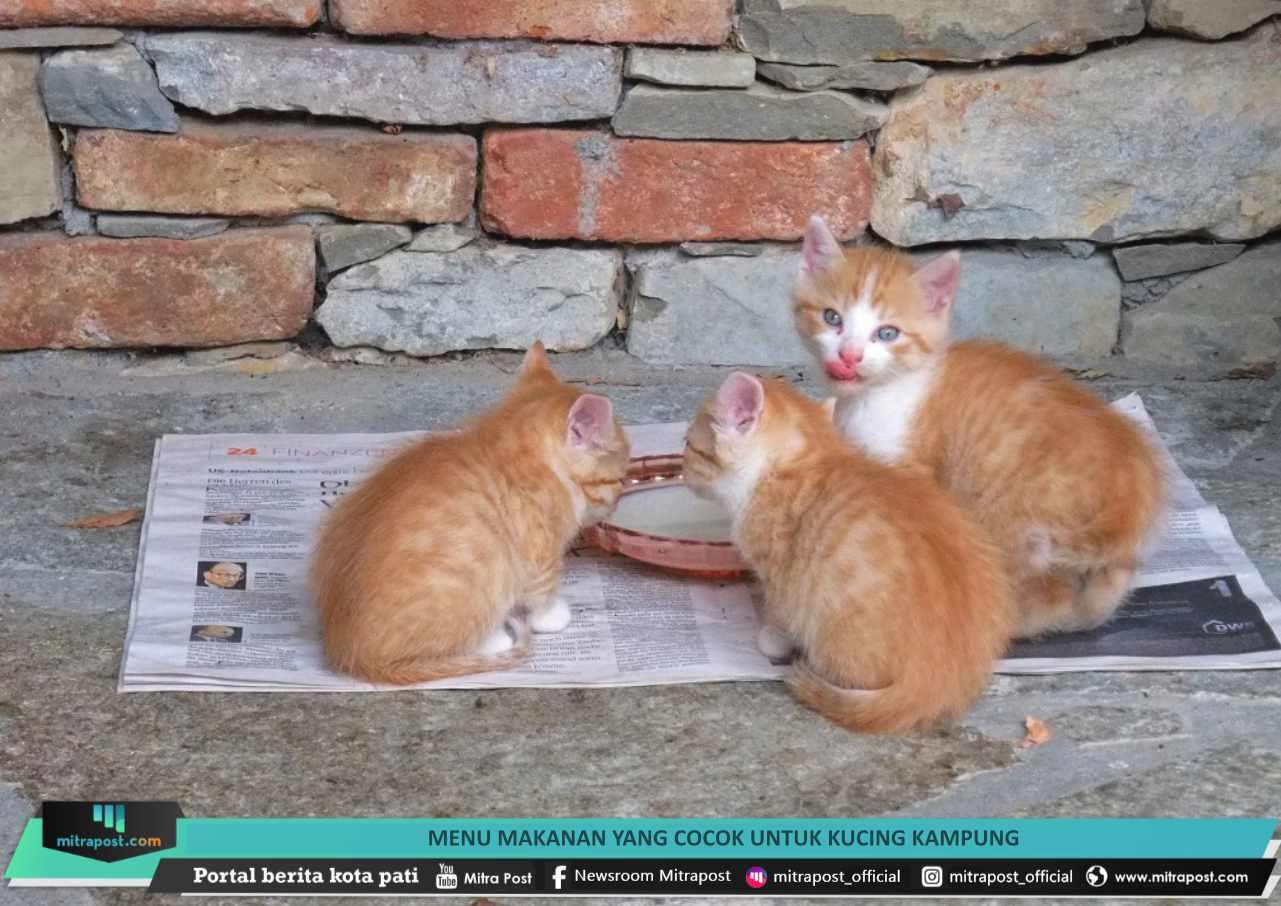 Menu Makanan yang Cocok untuk Kucing Kampung   Mitrapost.com
