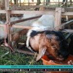 Jelang Iduladha Harga Hewan Kurban Di Rembang Menurun - Mitrapost.com