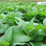 Tak Terdampak Pandemi, Petani Tembakau Di Sulang Memasuki Musim Panen