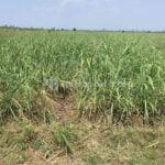 Cuaca Terlalu Basah, Sebabkan Produksi Panen Tebu Di Jaken Turun 15 Persen