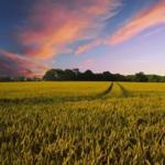 Luas Lahan Pertanian Menciut, Padi Aman