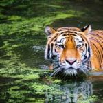 Pemuda Jambi Diterkam Harimau Saat Cari Sinyal