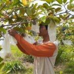 Agrowisata Kebun Jambu Kristal Di Blora Siapkan Paket Wisata Bagi Pengunjung